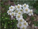 Alpski ali bleščeči pelin (Artemisia nitida)