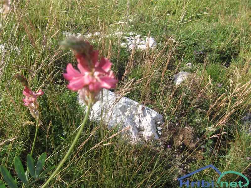Navadna turška detelja (Onobrychis viciifolia) - PictureNavadna turška detelja (Onobrychis viciifolia)
