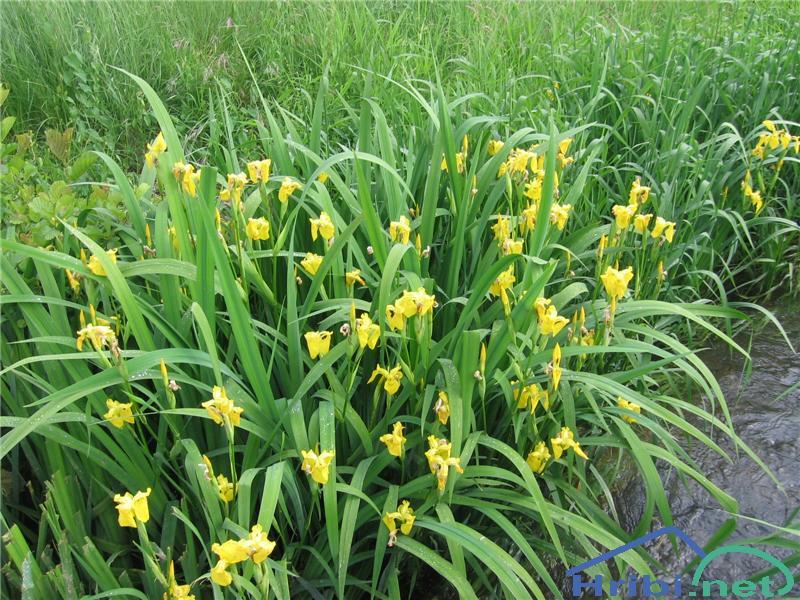 Vodna perunika (Iris pseudacorus) - SlikaVodna perunika (Iris pseudacorus)