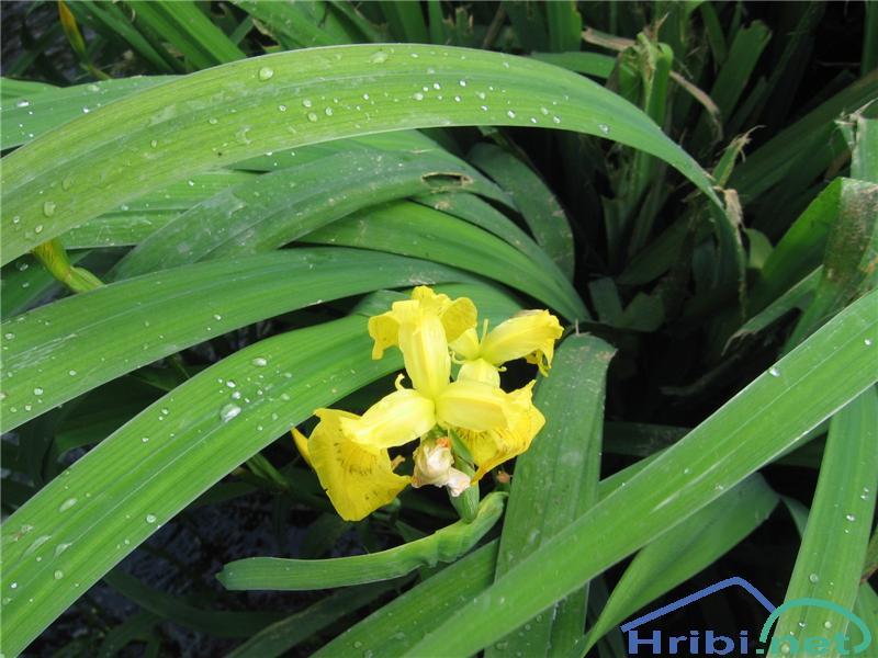 Vodna perunika (Iris pseudacorus) - PictureVodna perunika (Iris pseudacorus)