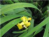 Vodna perunika (Iris pseudacorus)