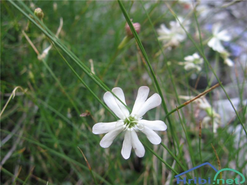Hayekova lepnica (Silene hayekiana) - PictureHayekova lepnica (Silene hayekiana)