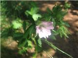 Muškatni ali ostrolistni slezenovec (Malva moschata)