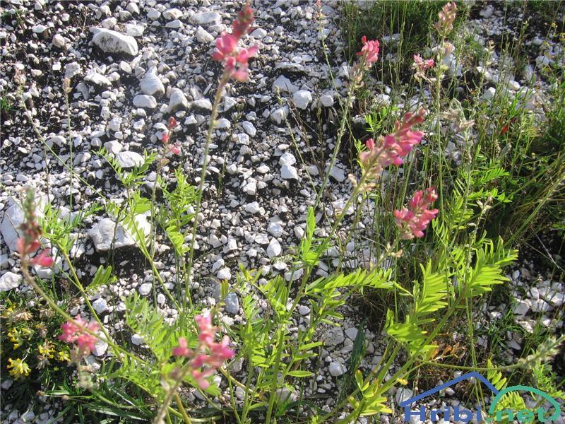 Navadna turška detelja (Onobrychis viciifolia) - SlikaNavadna turška detelja (Onobrychis viciifolia)