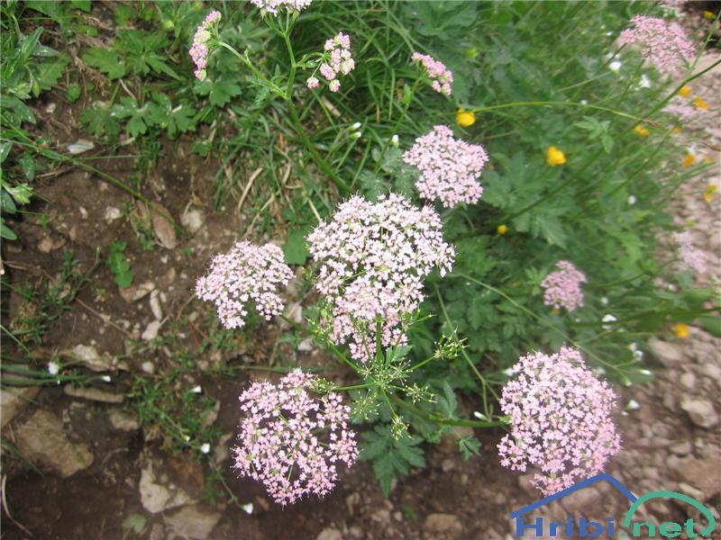 Dlakavo trebelje (Chaerophyllum hirsutum) - SlikaDlakavo trebelje (Chaerophyllum hirsutum)