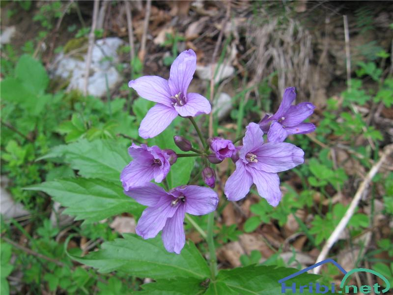 Peterolistna konopnica (Cardamine pentaphyllos) - PicturePeterolistna konopnica (Cardamine pentaphyllos)