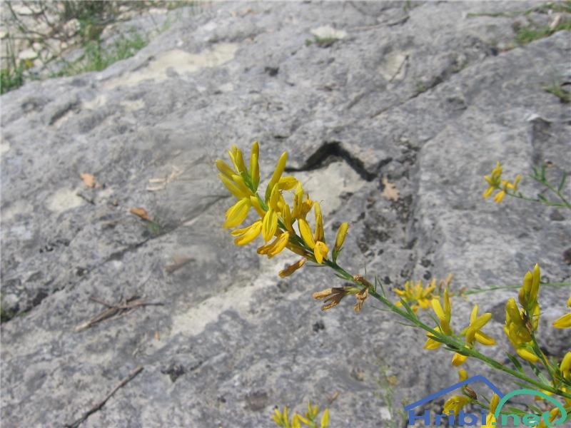 Gozdna košeničica (Genista sylvestris) - SlikaGozdna košeničica (Genista sylvestris)