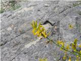 Gozdna košeničica (Genista sylvestris)