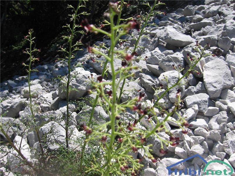 Jurska črnobina (Scrophularia juratensis) - SlikaJurska črnobina (Scrophularia juratensis)