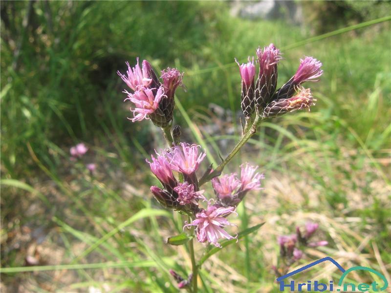 Barvilna mačina (Serratula tinctoria) - PictureBarvilna mačina (Serratula tinctoria)
