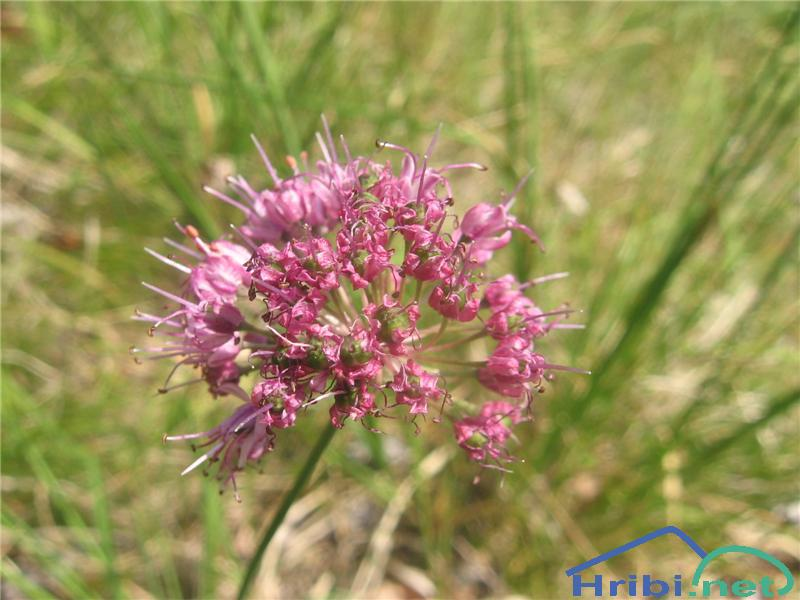Škrlatni ali kamniški luk (Allium kermesinum) - PictureŠkrlatni ali kamniški luk (Allium kermesinum)