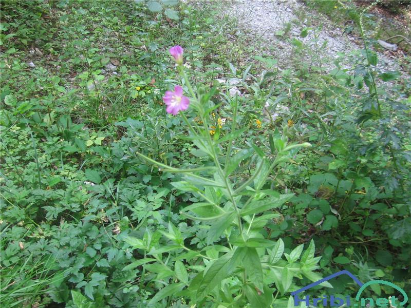 Dlakavi vrbovec (Epilobium hirsutum) - PictureDlakavi vrbovec (Epilobium hirsutum)