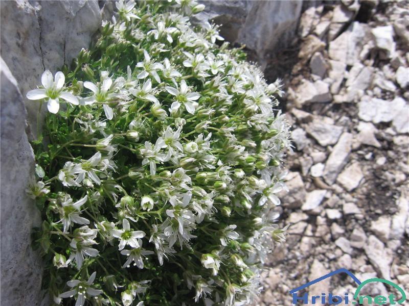Resasta peščenka (Arenaria ciliata) - PictureResasta peščenka (Arenaria ciliata)