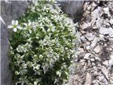 Resasta peščenka (Arenaria ciliata)