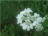 Velecvetna vehrica (Orlaya grandiflora)