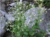 Okroglolistni kamnokreč (Saxifraga rotundifolia)