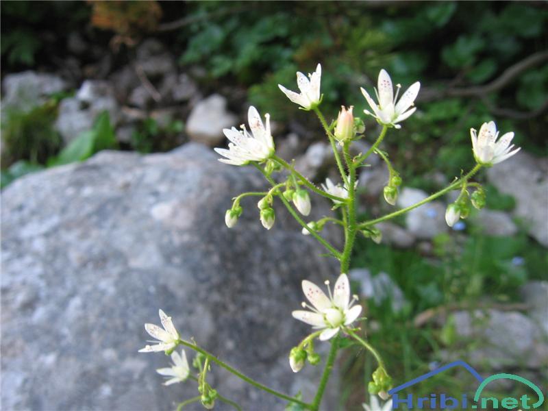 Okroglolistni kamnokreč (Saxifraga rotundifolia) - SlikaOkroglolistni kamnokreč (Saxifraga rotundifolia)