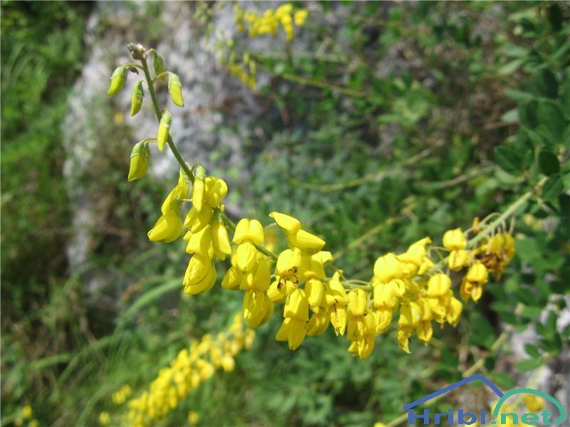 Barvilna košeničica (Genista tinctoria) - SlikaBarvilna košeničica (Genista tinctoria)