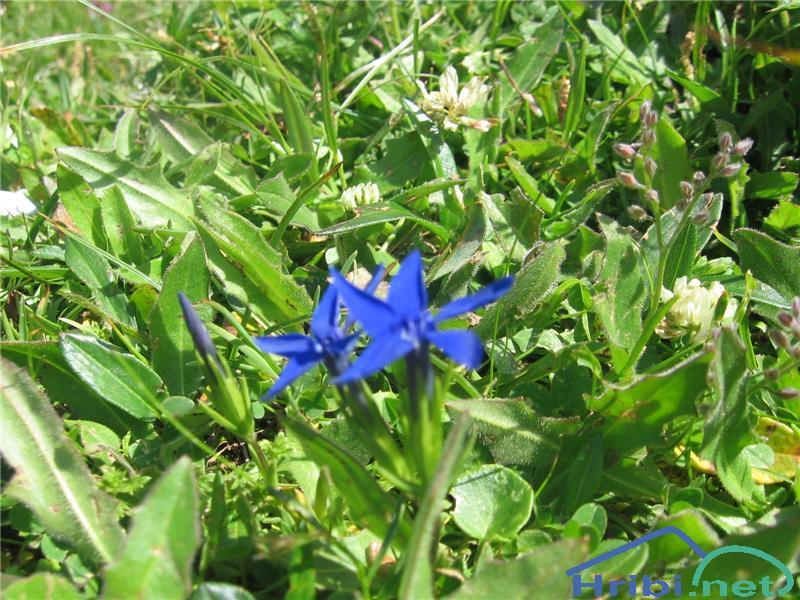 Snežni svišč (Gentiana nivalis) - PictureSnežni svišč (Gentiana nivalis)