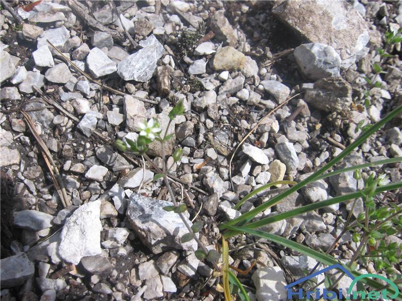 Navadna peščenka (Arenaria serpyllifolia) - SlikaNavadna peščenka (Arenaria serpyllifolia)