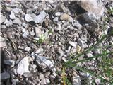 Navadna peščenka (Arenaria serpyllifolia)