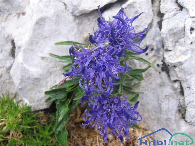 Sieberjev repuš (Phyteuma sieberi) - SlikaSieberjev repuš (Phyteuma sieberi)
