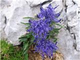 Sieberjev repuš (Phyteuma sieberi)