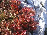 Alpski gornik (Arctostaphylos alpina)