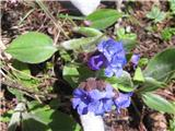 Ozkolistni pljučnik (Pulmonaria australis)