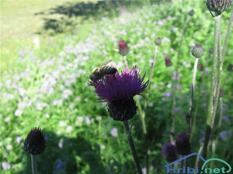 Fritschev glavinec (Centaurea scabiosa fritschii) - PictureFritschev glavinec (Centaurea scabiosa fritschii)