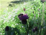 Fritschev glavinec (Centaurea scabiosa fritschii)