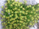 Homulični kamnokreč (Saxifraga sedoides)