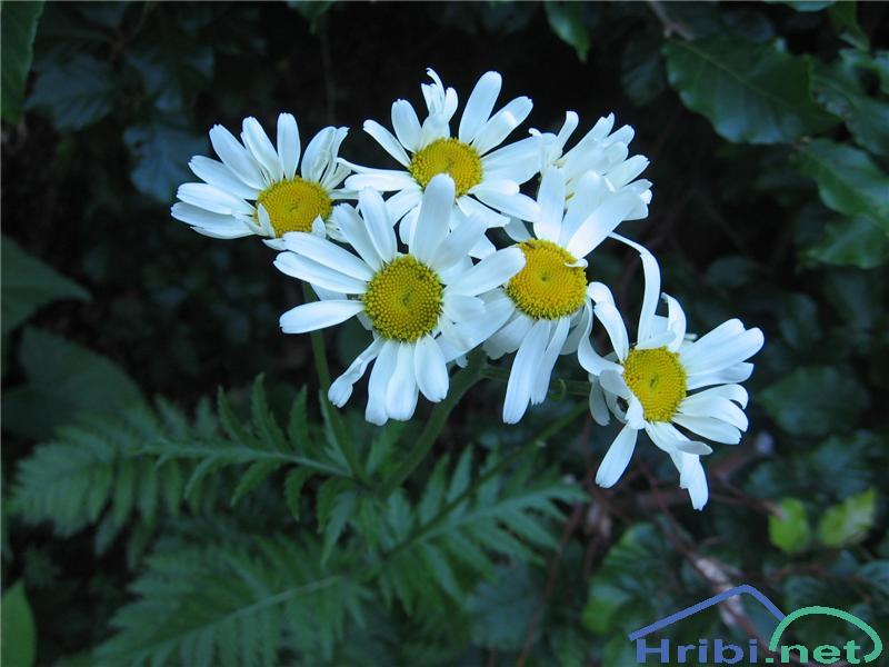 Češuljasti vratič (Tanacetum corymbosum) - SlikaČešuljasti vratič (Tanacetum corymbosum)