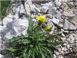 Alpski jajčar ali alpski otavčič (Leontodon hispidus subsp. hyoseroides)