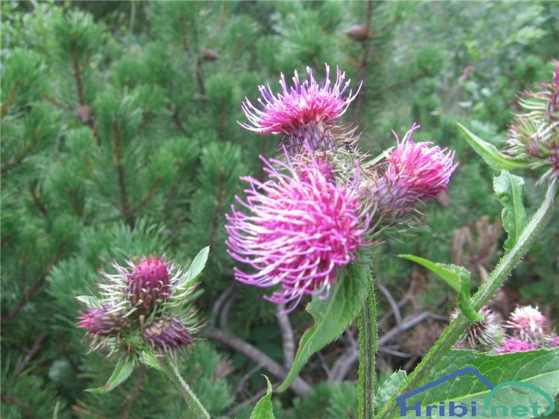 Okrinkani bodak (Carduus personata) - PictureOkrinkani bodak (Carduus personata)
