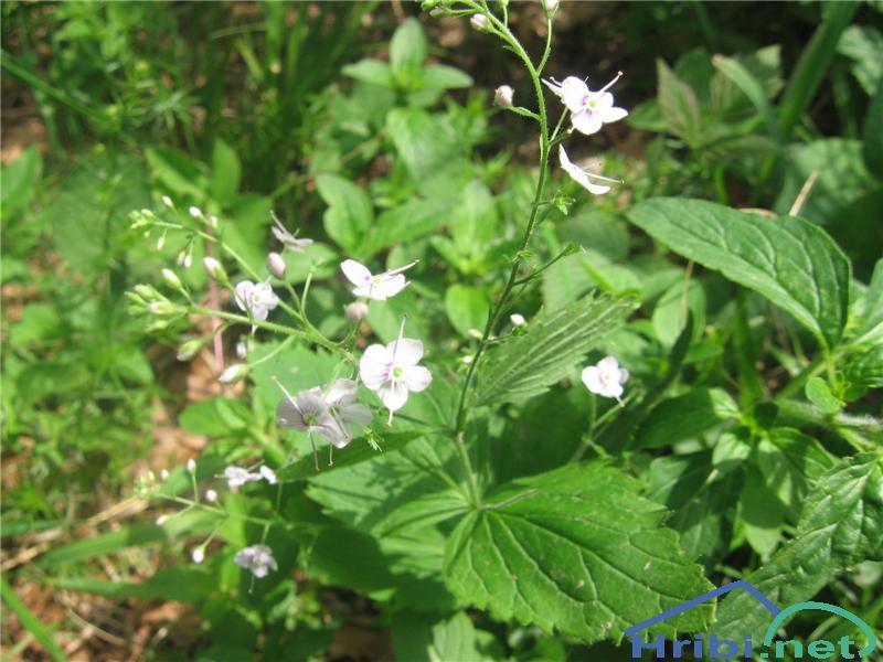Zdravilni jetičnik (Veronica officinalis) - SlikaZdravilni jetičnik (Veronica officinalis)