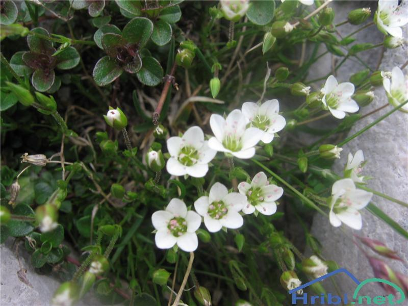 Lasasta črvinka (Minuartia capillacea) - PictureLasasta črvinka (Minuartia capillacea)