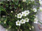 Lasasta črvinka (Minuartia capillacea)