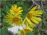 Avstrijski divjakovec (Doronicum austriacum)