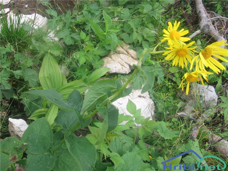 Avstrijski divjakovec (Doronicum austriacum) - PictureAvstrijski divjakovec (Doronicum austriacum)