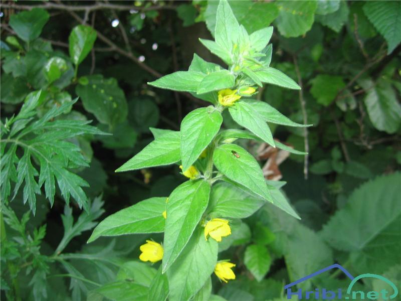 Pikasta pijavčnica (Lysimachia punctata) - PicturePikasta pijavčnica (Lysimachia punctata)