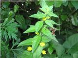 Pikasta pijavčnica (Lysimachia punctata)