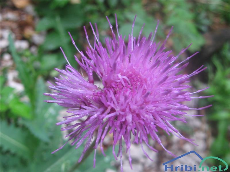 Debelolistni bodak (Carduus crassifolius crassifolius) - SlikaDebelolistni bodak (Carduus crassifolius crassifolius)