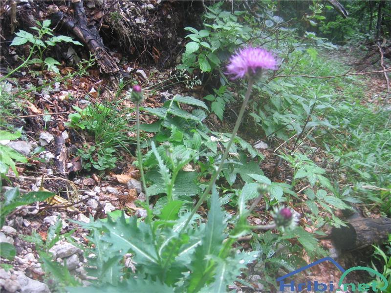 Debelolistni bodak (Carduus crassifolius crassifolius) - PictureDebelolistni bodak (Carduus crassifolius crassifolius)