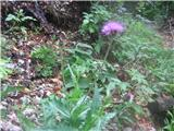 Carduus crassifolius crassifolius