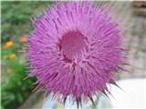 Kimasti bodak (Carduus nutans)
