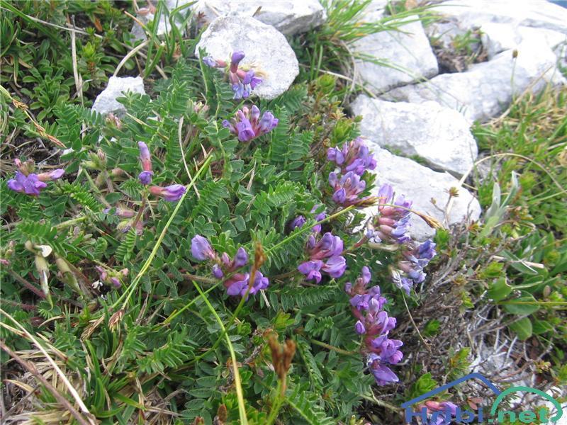 Pirenejska osivnica (Oxytropis neglecta) - PicturePirenejska osivnica (Oxytropis neglecta)