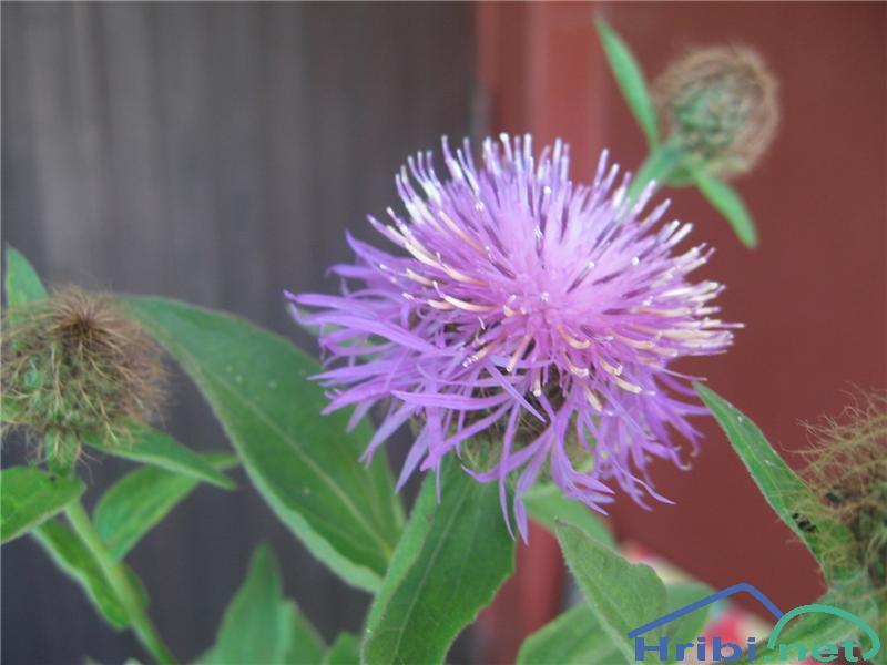 Veleperesasti glavinec (Centaurea macroptilon) - SlikaVeleperesasti glavinec (Centaurea macroptilon)