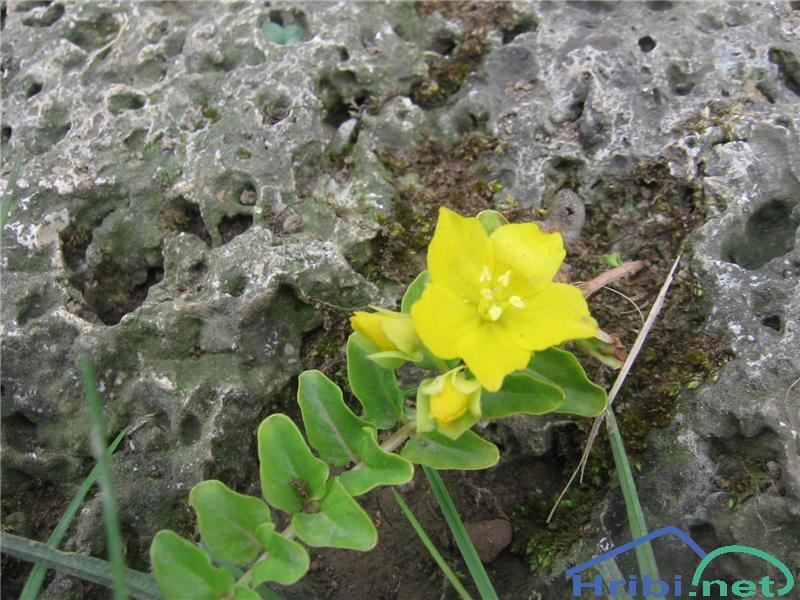 Okroglolistna pijavčnica (Lysimachia nummularia) - PictureOkroglolistna pijavčnica (Lysimachia nummularia)