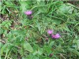 Centaurea rhenana